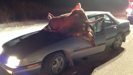 moose-crash-leaves-man-injured